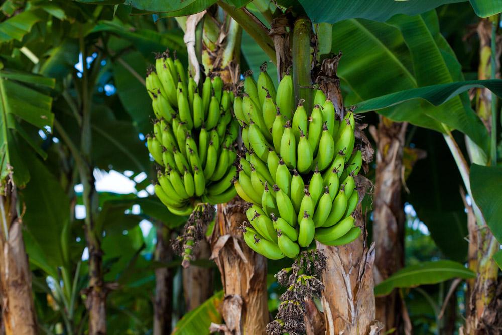 картинка дерево бананы где-то ошибся